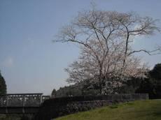 Sakurabasi001