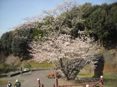 Sakurabasi002