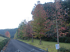 Momizibahuu001